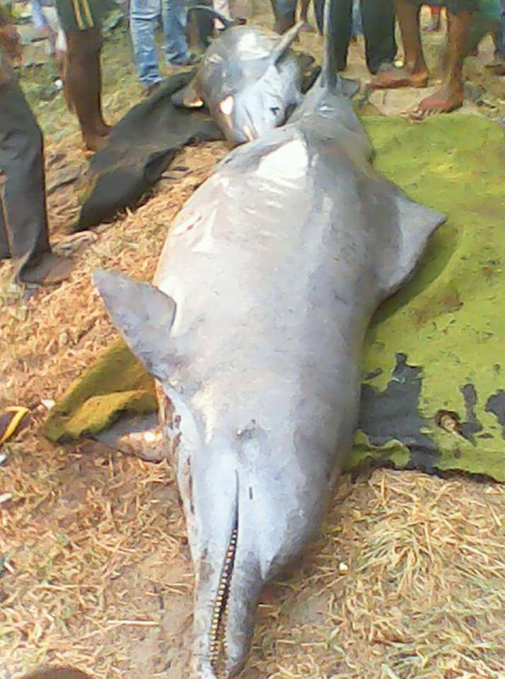 Photos: Nigerian Fishermen Catch 2 Dolphins And Butcher It For Pepper Soup In Bayelsa State (Must See)