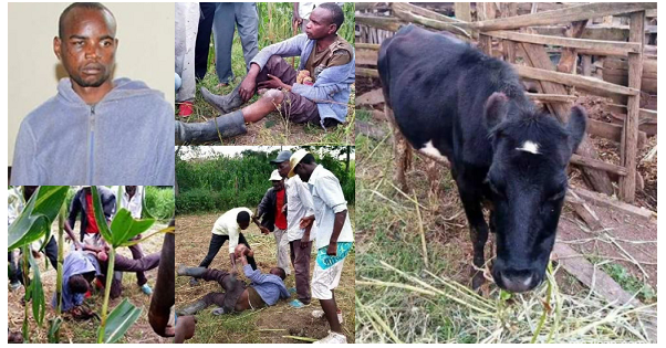 """Image result for """"I SLEEP WITH COWS BECAUSE GIRLS CAN GIVE ME HIV"""" – MAN CAUGHT SLEEPING WITH A COW CONFESSES"""